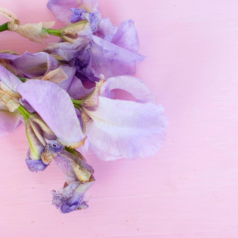 Irins blommar på en rosa bakgrund arkivfoton