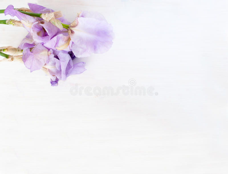 Irins blommar på en rosa bakgrund royaltyfri fotografi