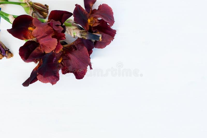 Irins blommar på en rosa bakgrund arkivbilder