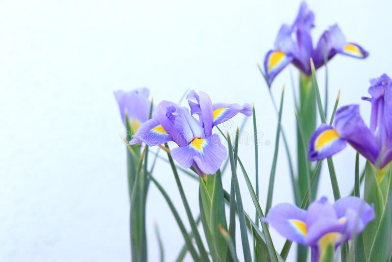 Iris à bulbe Iris de floraison de fleurs de fond nature photos libres de droits
