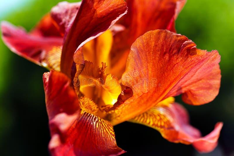 iris красный цвет стоковое изображение rf