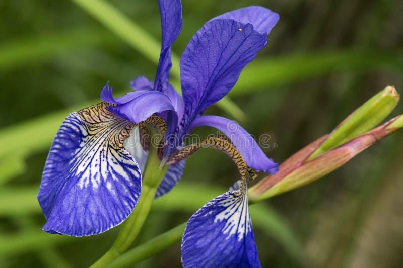 Iris royalty-vrije stock foto