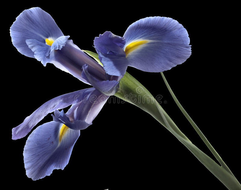 Iris. Flower isolated over black background royalty free stock images