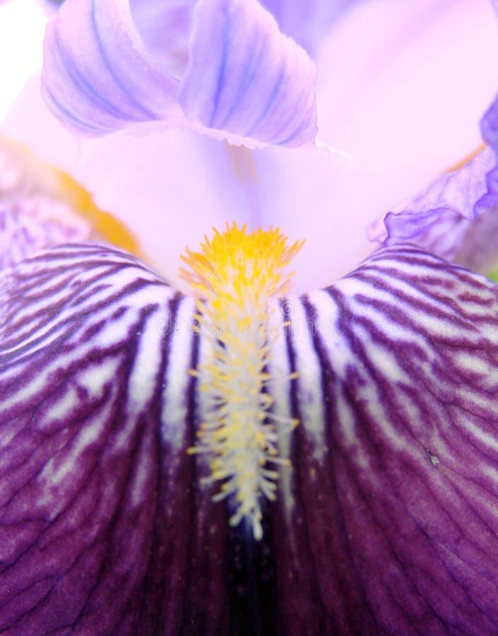 Iris stock foto