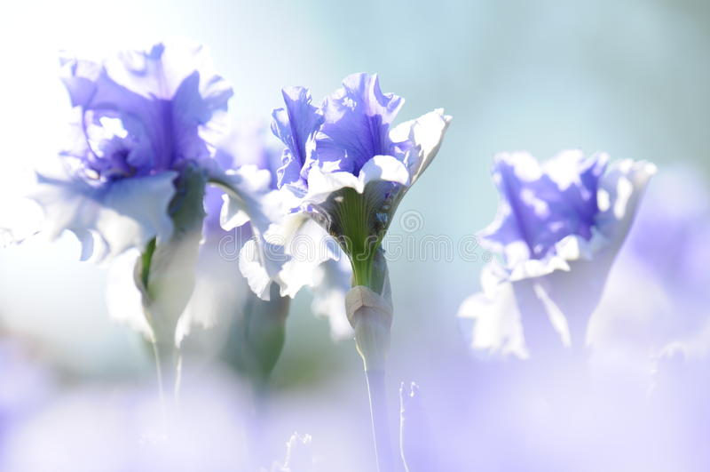 Iris stock photos