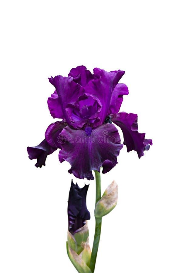 Download Iris stock photo. Image of beautiful, growth, closeup - 15756668