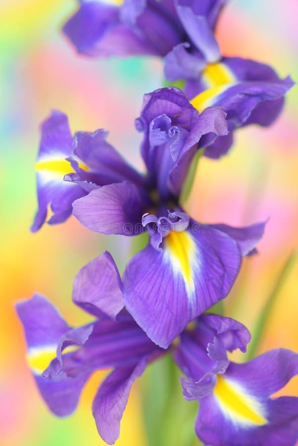 Iris. Close up of spring iris royalty free stock photography