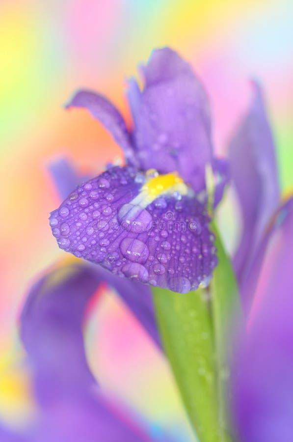 iris arkivfoton