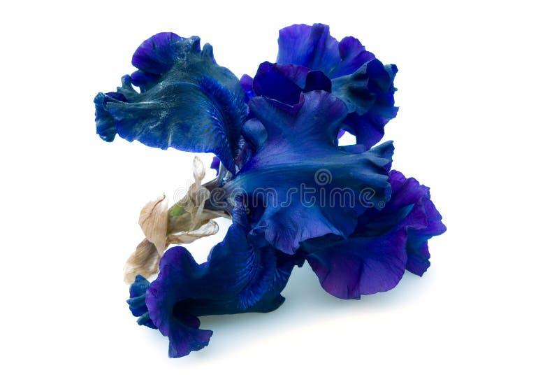 Iris. Beautiful blue iris isolated on white background royalty free stock image