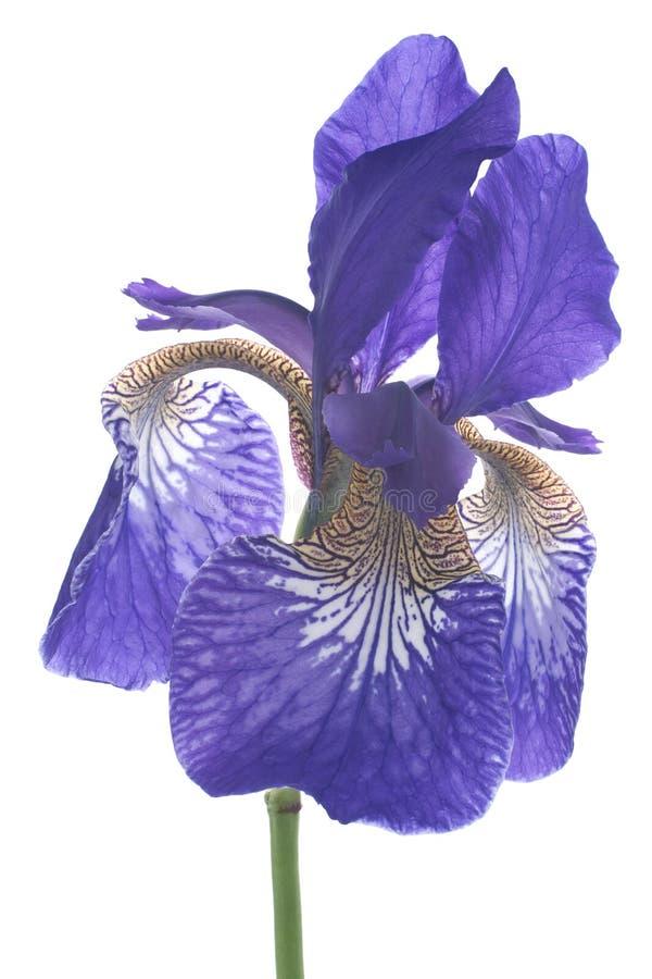 Iris. Studio Shot of Blue Colored Iris Isolated on White Background. Large Depth of Field (DOF). Macro. Symbol of Trust and Wisdom. Emblem of France royalty free stock photography