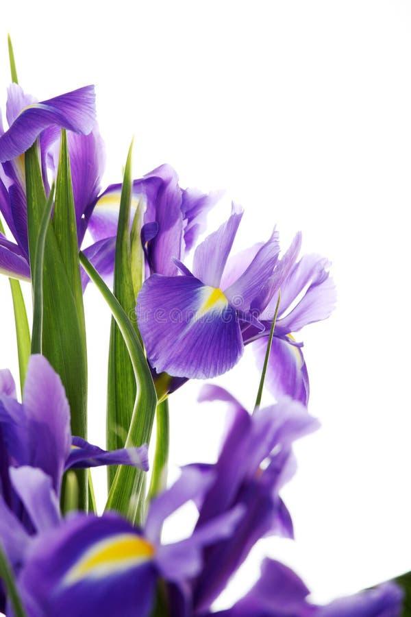 Iris. Isolated on white background royalty free stock photo