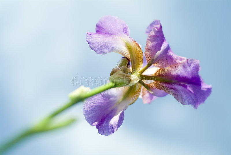 iris obrazy royalty free