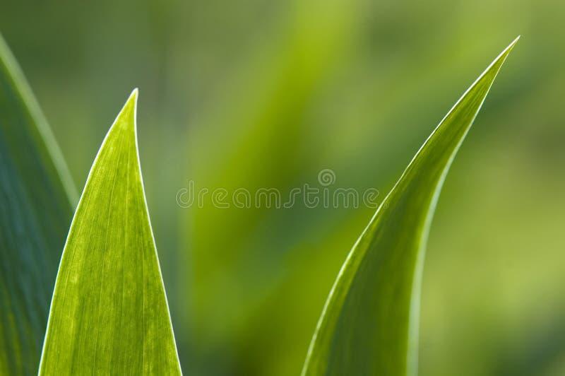 Iris royalty free stock images