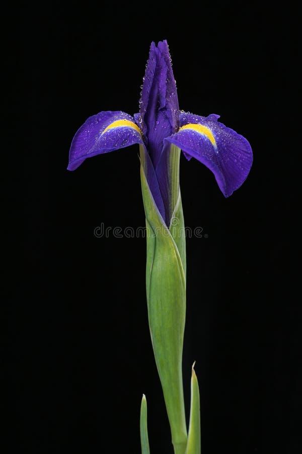 iris zdjęcie royalty free