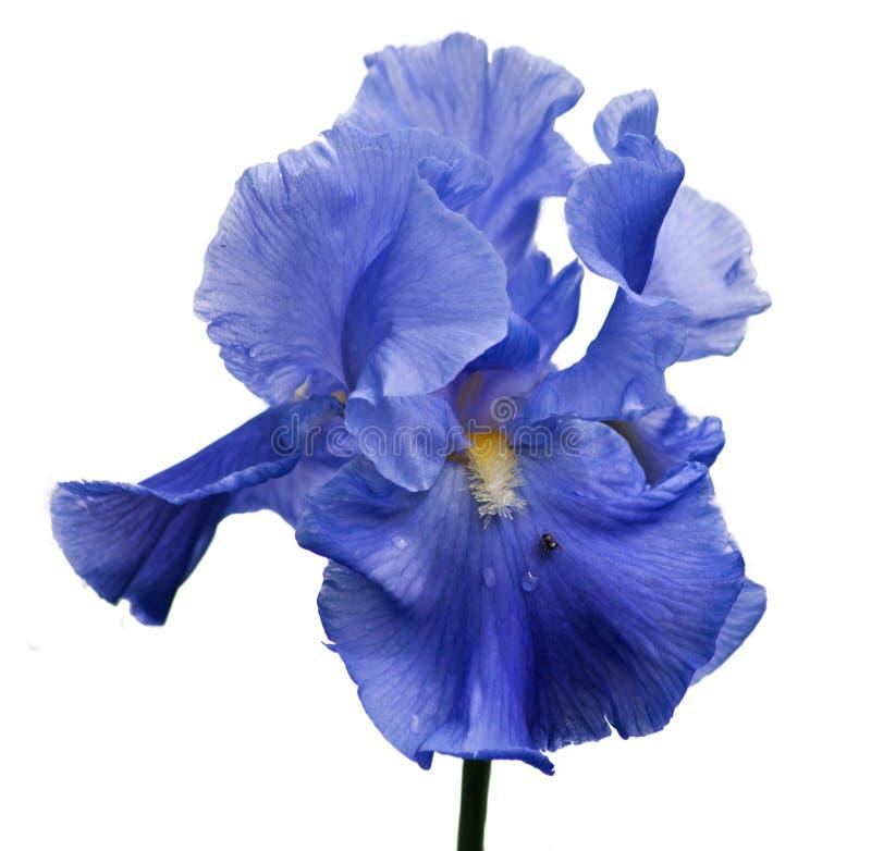Iris στοκ εικόνα