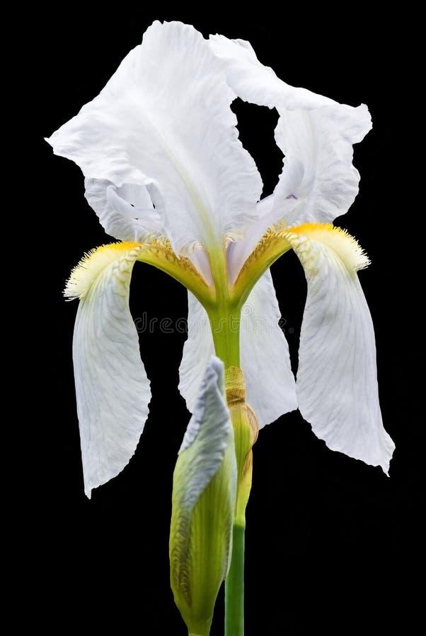 iris fotografering för bildbyråer