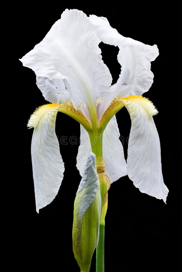 Iris. Silky iris flower isolated on black background stock image