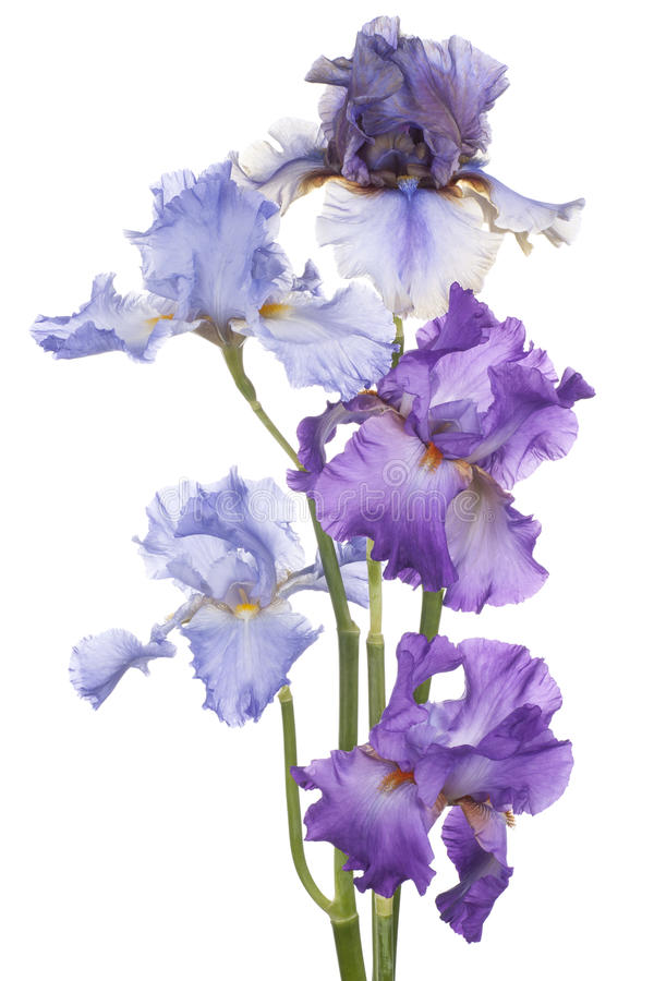 Download Iris image stock. Image du iris, fond, isolement, closeup - 45368501