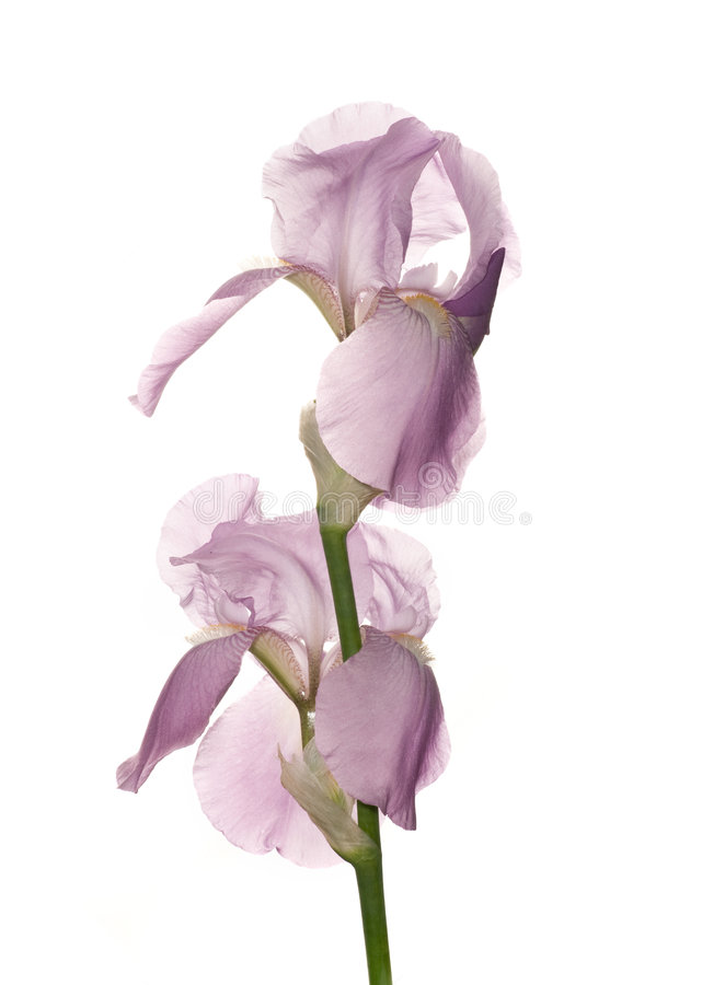 Iris. Beautiful purple iris isolated on white background royalty free stock photo