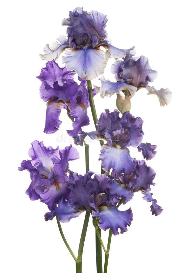 Download Iris stock afbeelding. Afbeelding bestaande uit hoofd - 54086705