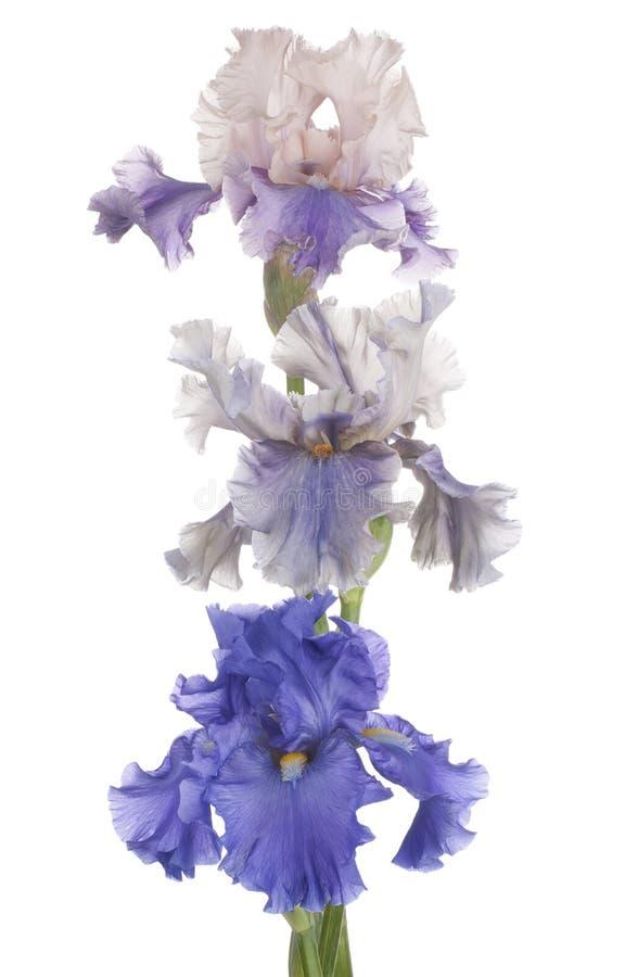 Download Iris stock afbeelding. Afbeelding bestaande uit nadruk - 54086753