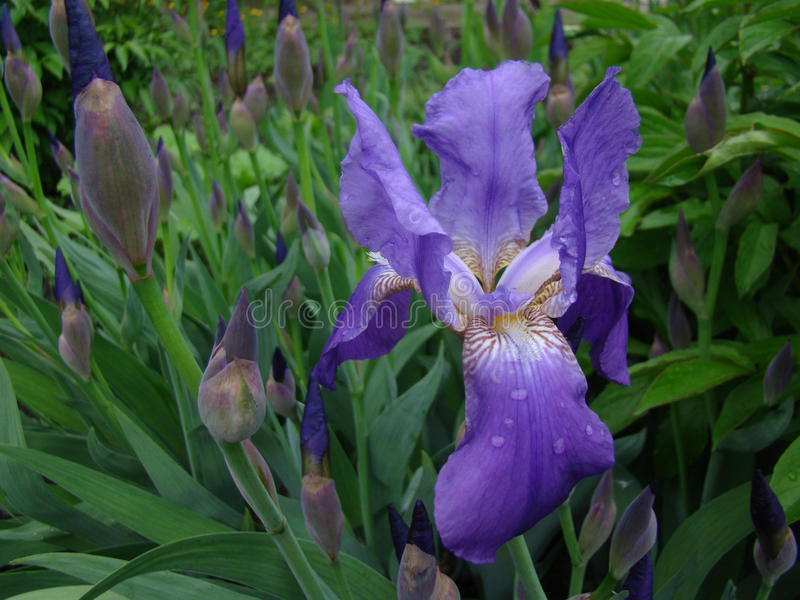 Download Iris stock foto. Afbeelding bestaande uit nave, donsachtig - 54087278
