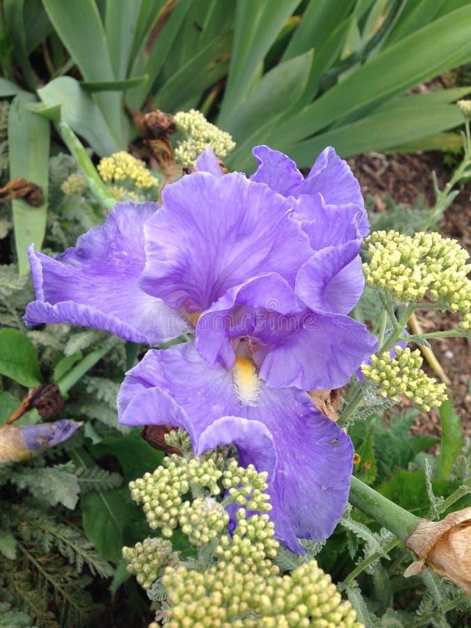 Iris stock fotografie