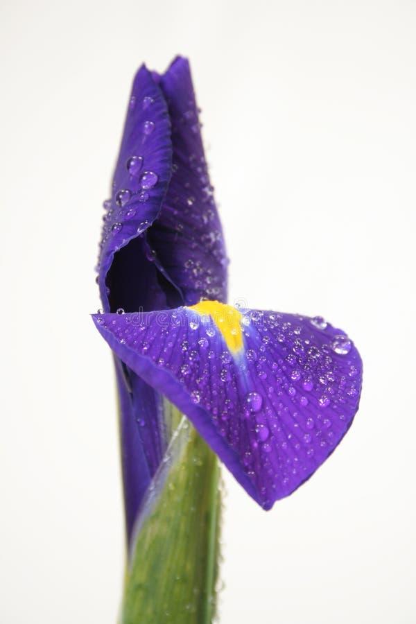 iris zdjęcie stock