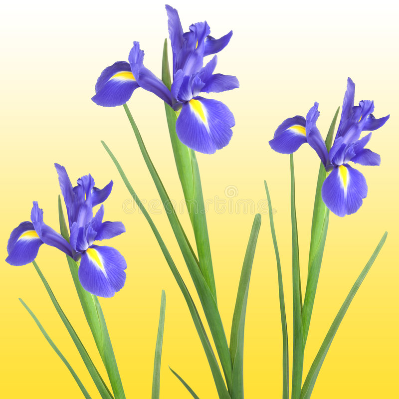Iris. Three blue iris isolated against a golden yellow background stock photography
