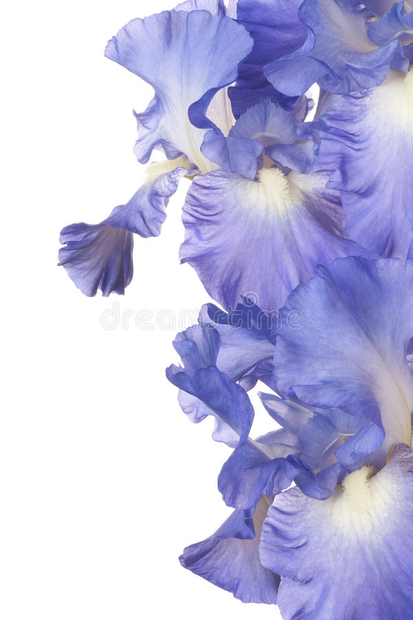 iris photos stock