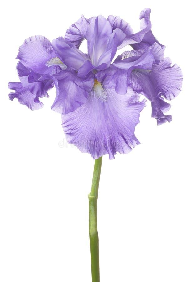iris arkivfoto