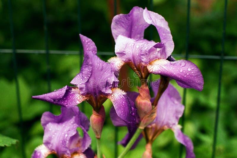 iris photos stock