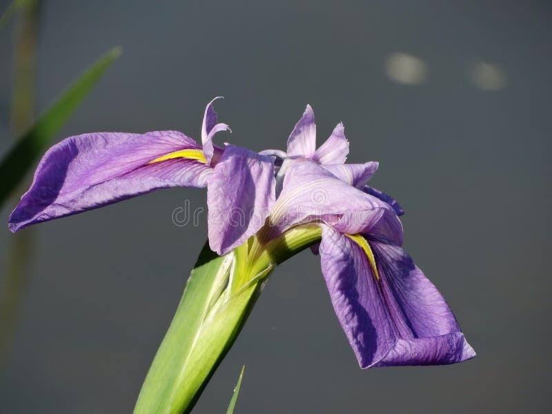 Iris foto de archivo libre de regalías