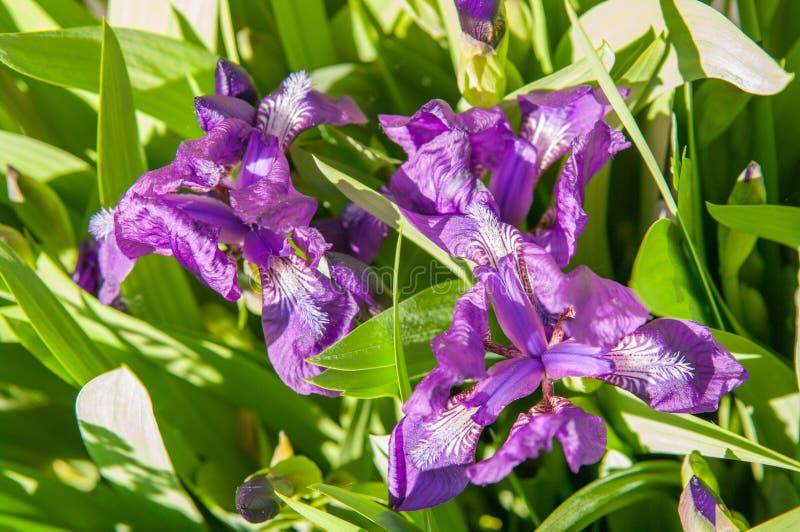 iris photographie stock