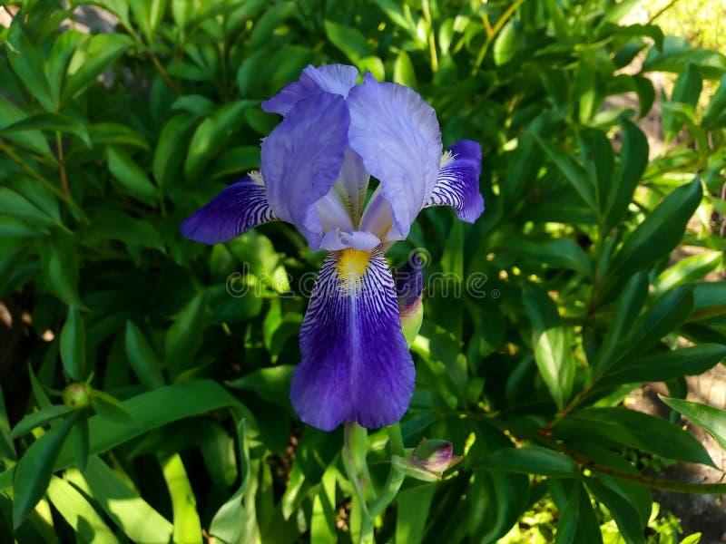 iris photo stock