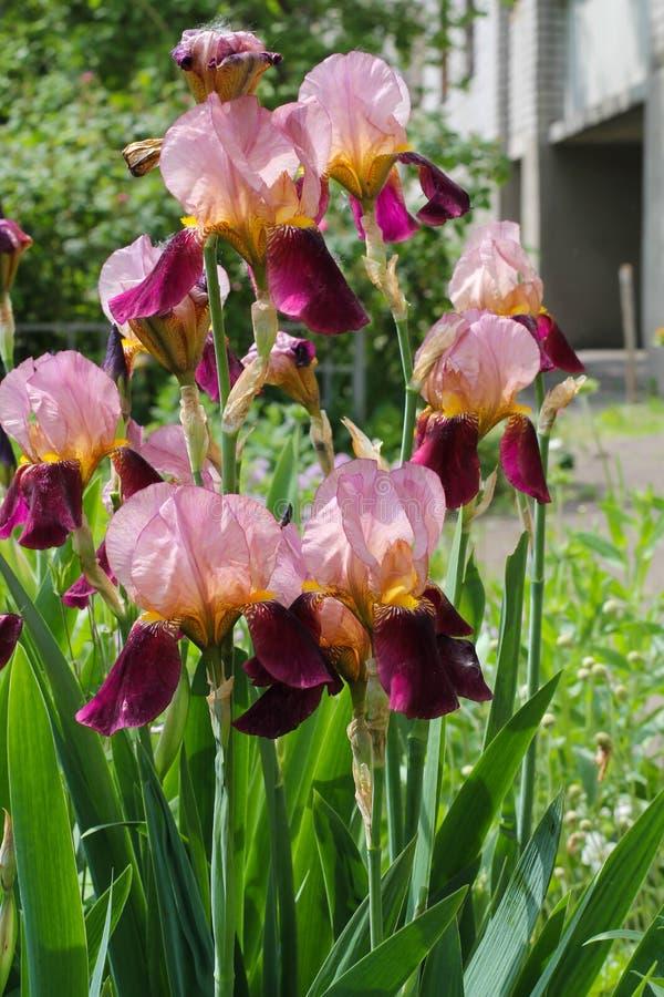 Iris au printemps Fleur colorée d'iris avec les pétales sensibles photographie stock