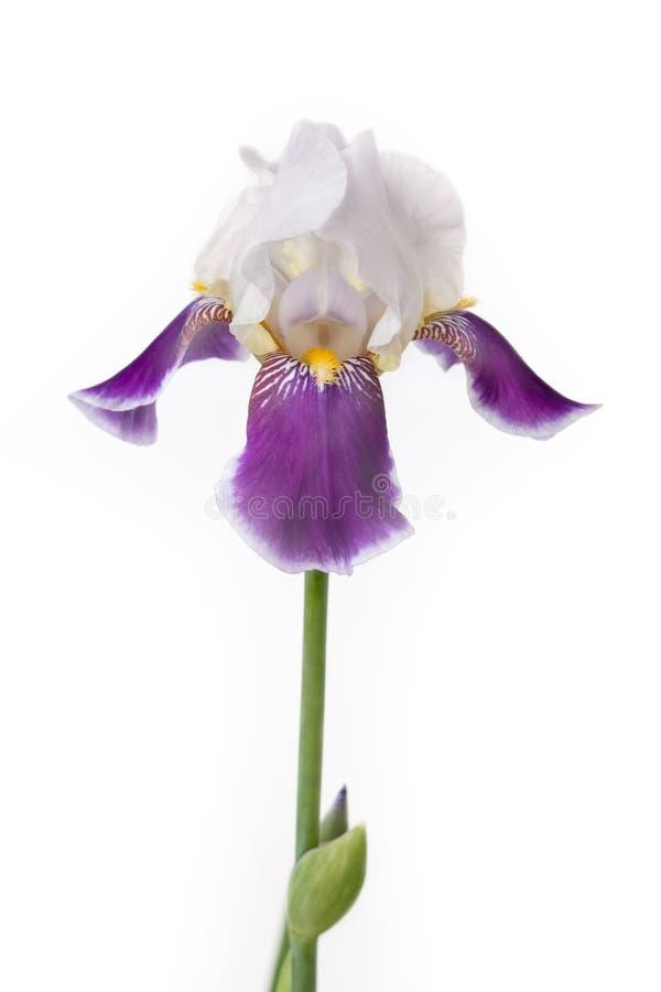 Iris auf einem weißen Hintergrund stockfotos