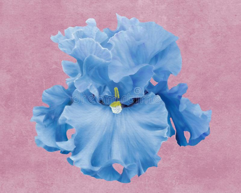 Iris barbu bleu image stock