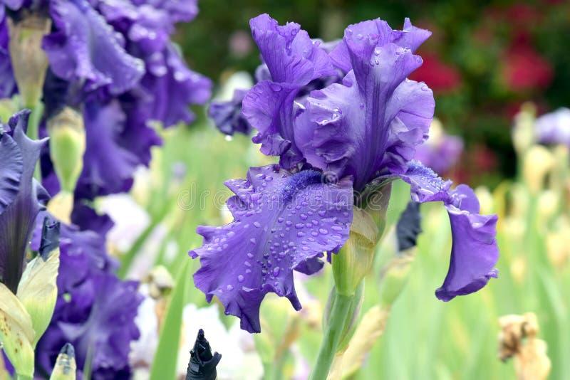 Iris barbudo del desafiador oscuro fotografía de archivo