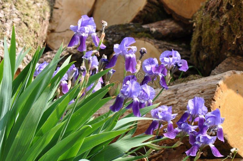 Iris. Beautiful flowers of iris. Beautiful irises on green background. Iris plant in garden bloom in spring royalty free stock photo
