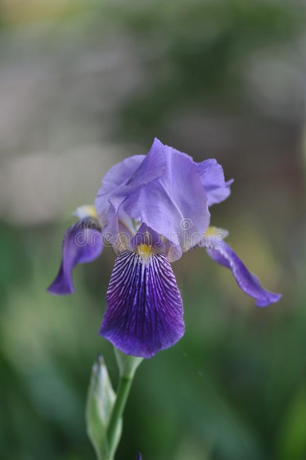 Iris. Beautiful flowers of iris. Beautiful irises on green background. Iris plant in garden bloom in spring stock images