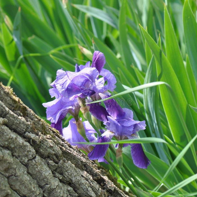 Iris. Beautiful flowers of iris. Beautiful irises on green background. Iris plant in garden bloom in spring royalty free stock images