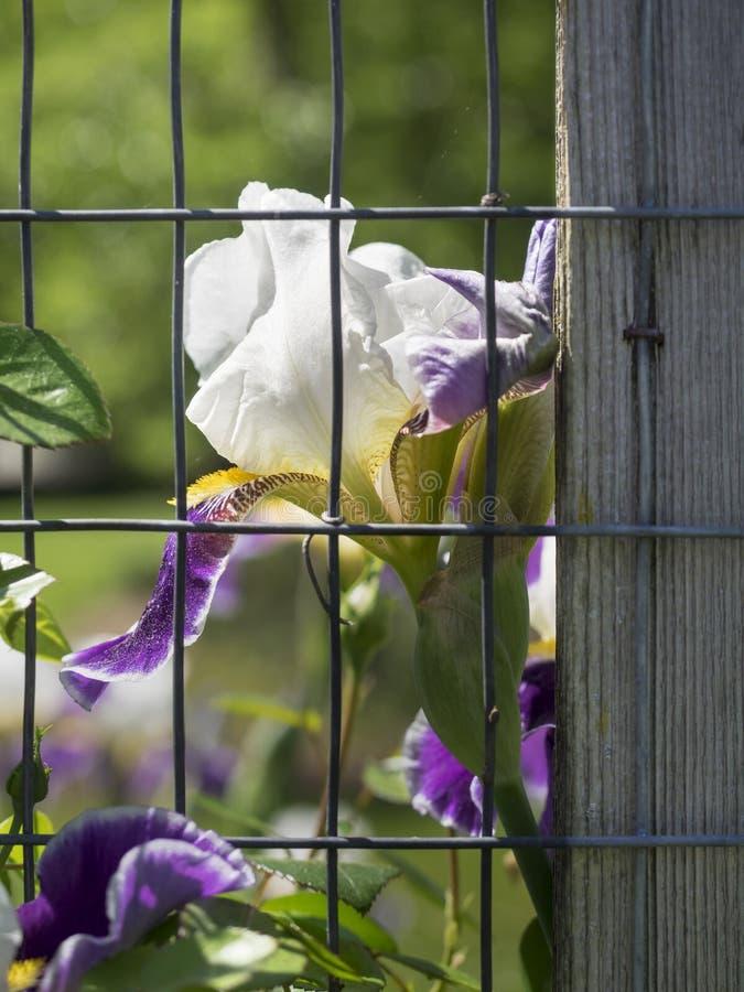 Iris Behind een Tuinomheining stock fotografie
