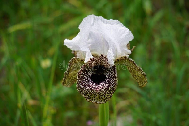 Iris bismarckiana stock photos
