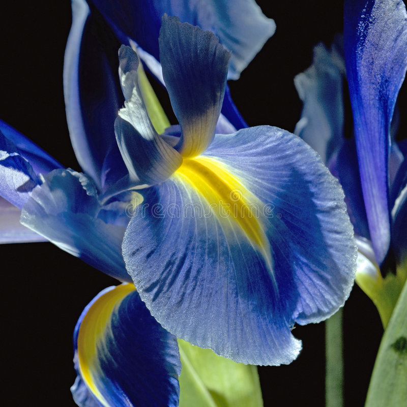 Iris on black. Close-up macro of a backlit iris beardless with blue fall and yellow signal showing the fine line detail texture on the petals almost making the stock image
