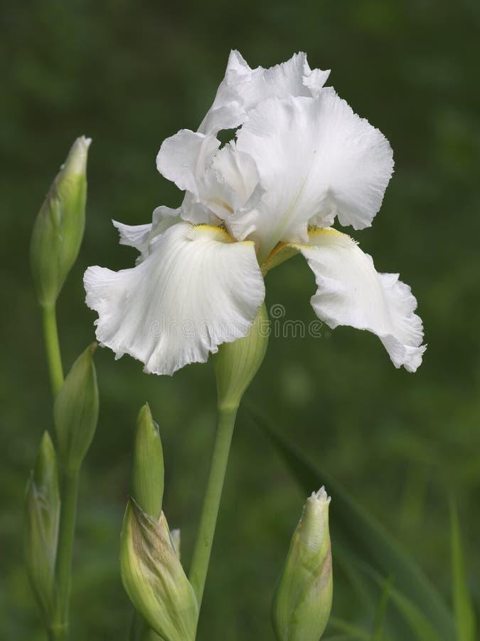 Iris blanc photo libre de droits