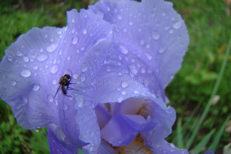 Iris bleu photo stock