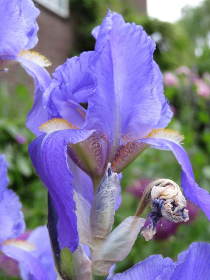Iris bleu dans le jardin photos stock