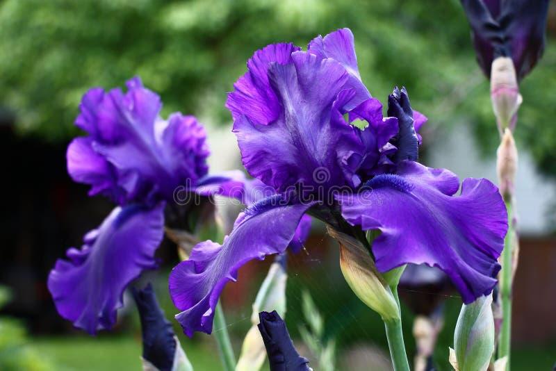 Iris bleu-foncé images libres de droits