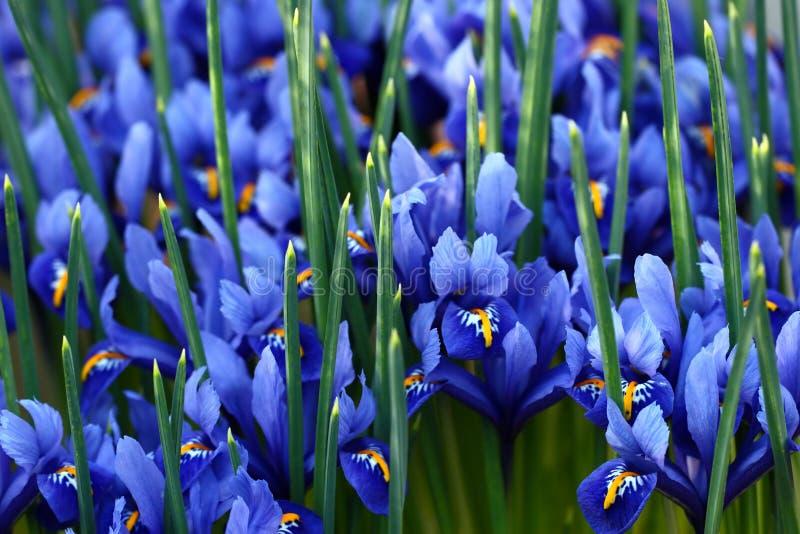 Iris bleus images libres de droits